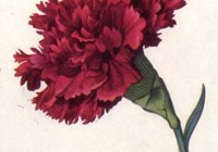 Red_Carnation_NGM_XXXI_p507