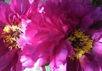 Double-Pink-Peonies-1024x577