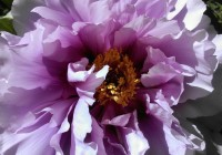 Brooklyn-Botanical-Garden-Cover-Peony-1024x577